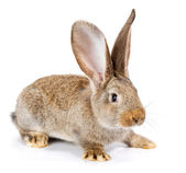 Brown rabbit on white background — Stock Photo