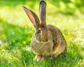 Brown rabbit sitting in grass — Stock Photo