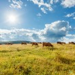 Herd of cows grazing on sunny field — Stock Photo #56696127