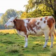 Brown cow near the forest — Stock Photo #56696173