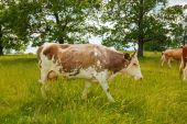 Brown cow walking on the field — Stock Photo