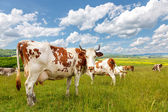 Cow herd on summer field — Stock Photo