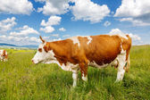 Brown cow on field — Stock Photo