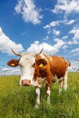 Piebald cow on the field — Stock Photo