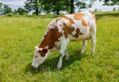 Piebald cow grazing on the field — Stock Photo