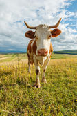 Curious cow on the field — Stock Photo