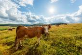 Herd of cows grazing on sunny field — Stock Photo