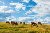 Herd of cows grazing on field — Stock Photo