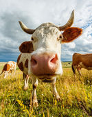 Curious cow sniffing — Stok fotoğraf