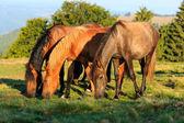 Herd of wild horses grazing — Stock Photo