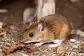 White footed mouse in spring — Stock Photo