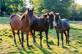 Curious wild horses near the forest — Stock Photo