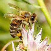 Macro of honey bee on flower — Stockfoto