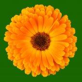 Calendula Officinalis on green — Stock Photo