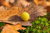 Yellow gall on dry oak leaf — Stock Photo