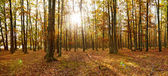 Deciduous forest panorama in autumn — Stock Photo