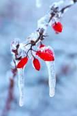 Frozen rosehip branch in winter — Stock Photo