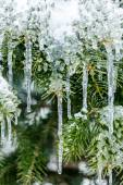 Frozen pine branches in winter — Stock Photo