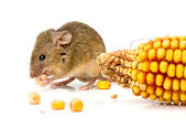 House mouse (Mus musculus) eating corn — Stock Photo
