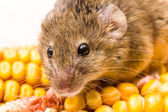 House mouse (Mus musculus) on corn — Stock Photo