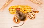 House mouse (Mus musculus) eating walnut and corn — Stock Photo