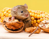 House mouse (Mus musculus) with walnut and corn — Stock Photo