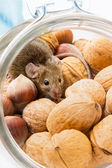House mouse (Mus musculus) in walnut and corn — Stock Photo