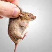 Captured house mouse (Mus musculus) — Stock Photo