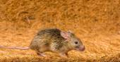 House mouse (Mus musculus) running — Stock Photo