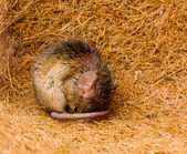 House mouse (Mus musculus) sleeping — Stock Photo