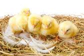 Pintinhos recém-nascidos no ninho — Fotografia Stock