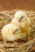 Little newborn chickens in nest — Stock Photo