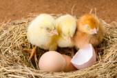 Little newborn chickens in nest with egg shell — Stock Photo