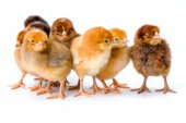 Group of newborn brown chickens — Stock Photo