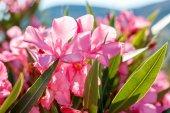 Nerium oleander in Greece — Stock Photo