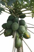 Isolated Papaya Tree — Stock Photo