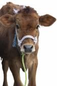 Calf Isolated — Stock Photo