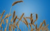 Wheat Fields Isolated — Stock Photo