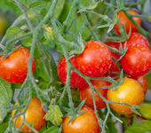 Tomates mûres de jardins — Photo