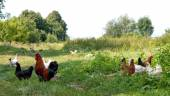 Rooster and chickens — Stock Photo