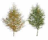 Two birch — Stock Photo