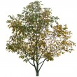 Autumn walnut tree — Stock Photo #57019503