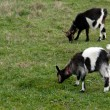 Two goats — Stock Photo #66923739