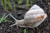 Snail creeps — Stock Photo