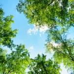 forêt de bouleaux sur une journée ensoleillée. bois verdoyants en été — Photo #53561125