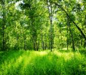 Birch forest on a sunny day. Green woods in summer — Stock Photo