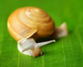 Snail creeps on green banana leaf — Stock Photo