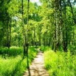 forêt de bouleaux sur une journée ensoleillée. bois verdoyants en été — Photo #68738301