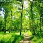 forêt de bouleaux sur une journée ensoleillée. bois verdoyants en été — Photo #70630623