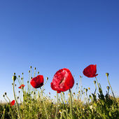 Red Poppy flowers with blue sky background — Stock Photo